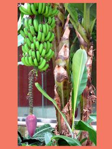 バナナ-8